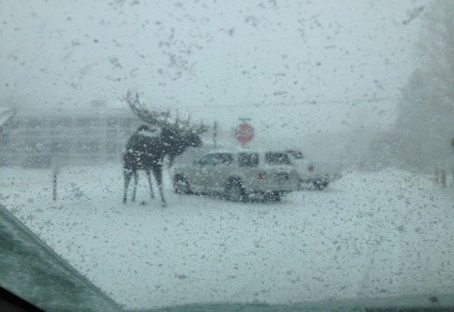the Moose is loose in the town of Jackson...