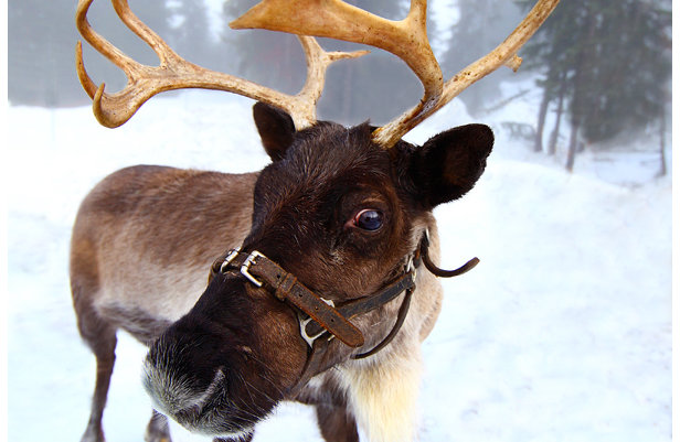 Grouse Mountain is home to real reindeer known as Dancer and Prancer. - ©Devin Manky/Flickr