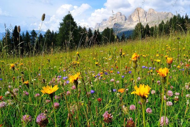 Blumenwiese vor Dolomiten-Kulisse