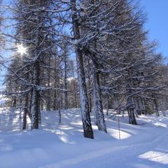 La forêt de mélèzes bordant les pistes de la Combasse et de la Reculas à Serre-Eyraud : le terrain de jeu favoris de nombreux freerideurs...