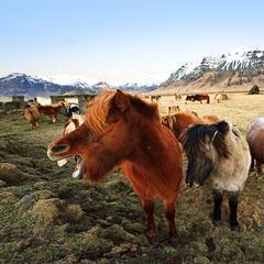 Islandpferde bei Vik - ©Norbert-Eisele Hein