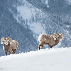 Big Horned Sheep - ©Liam Doran