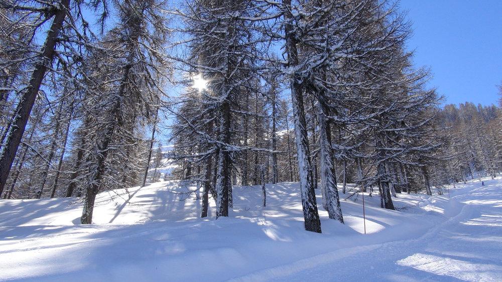 La forêt de mélèzes bordant les pistes de la Combasse et de la Reculas à Serre-Eyraud : le terrain de jeu favoris de nombreux freerideurs... - © Stéphane GG