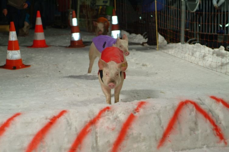 Piglet racing in Klosters - © Klosters Tourismus