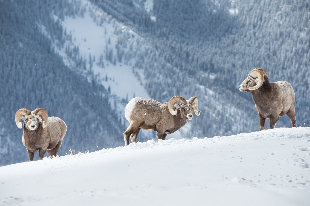 A few of Taos' fine-looking mountain locals. - © Liam Doran