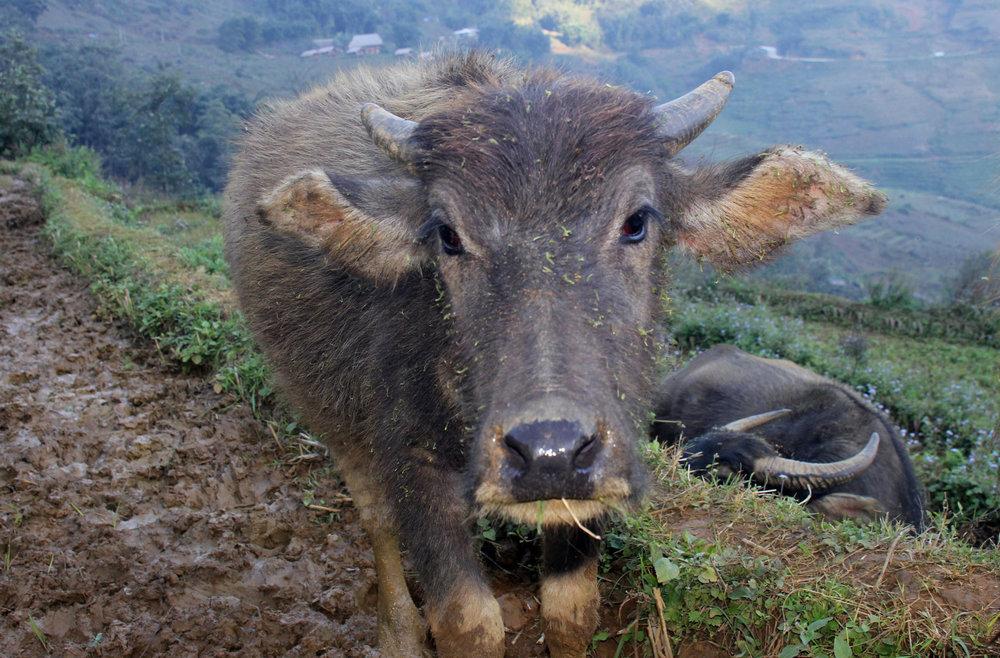 Ein weiterer Wasserbüffel - © Karsten-T. Raab