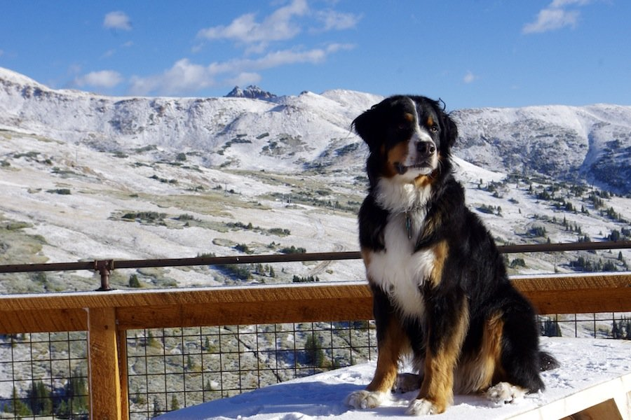 Toby the Bernese Mountain Dog scans the horizon for winter 16/17 at Loveland Ski Area. - © Dustin Schaefer