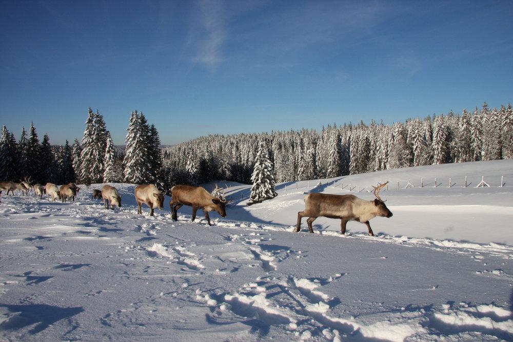 Paysage de neige avec des rennes du Parc Polaire à Chaux-Neuve - © CRT Franche Comté