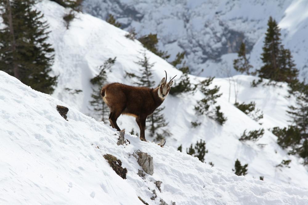 Wir begneten im Skigebiet Ehrwalder Alm einer Herde Gämse - © Skiinfo.de