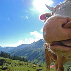 Kuh auf der Alm - ©Pillerseetal