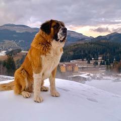 Pes Aron dohliada na kvalitu nového snehu... V Telgárte sa zasnežuje! - © facebook | Ski Telgárt